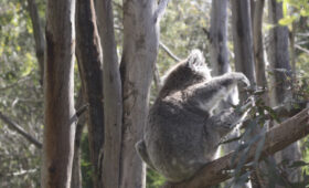 Он сказал, поехали: коала в Австралии устроил ДТП на трассе